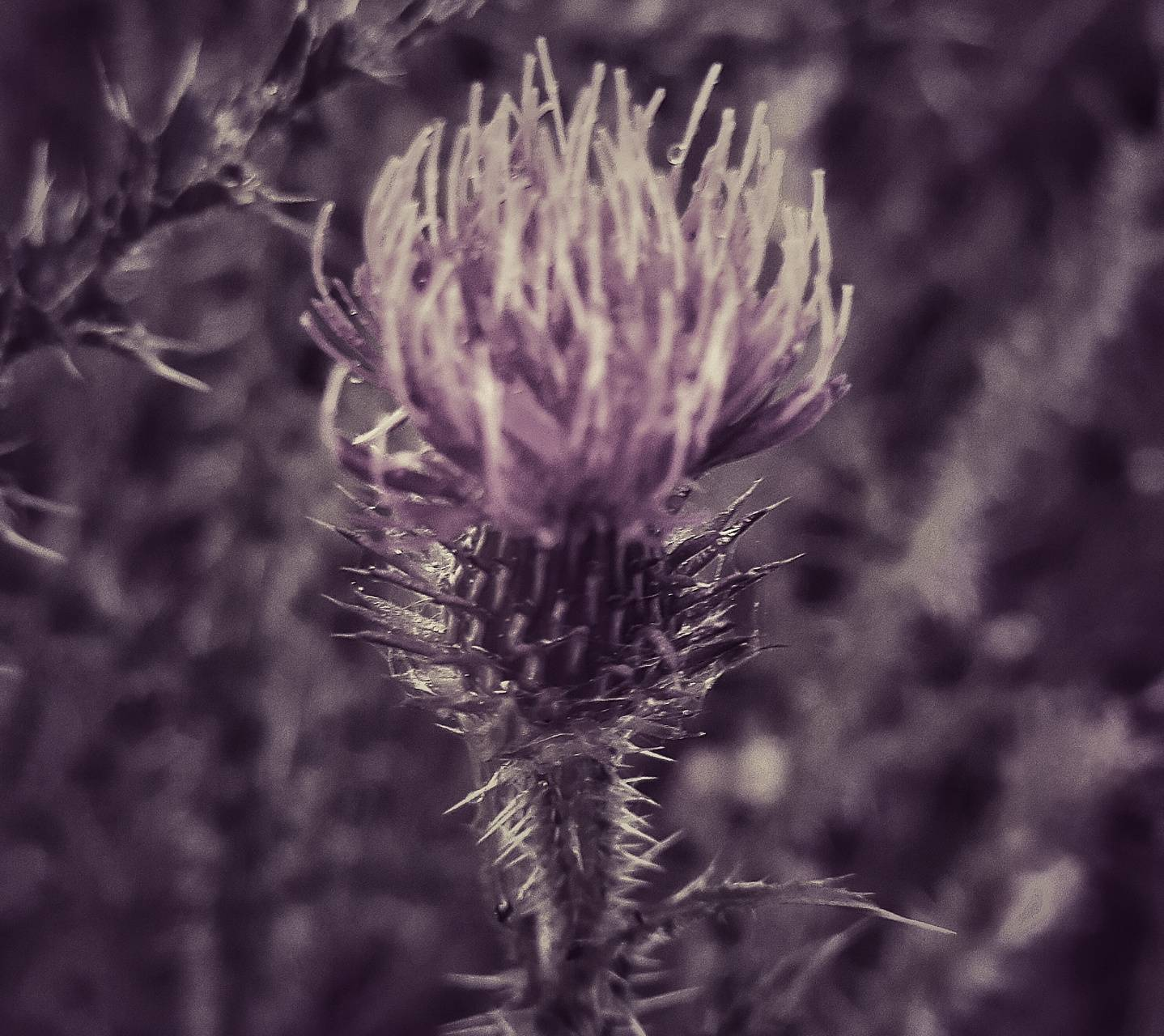 Brave heart Thistle