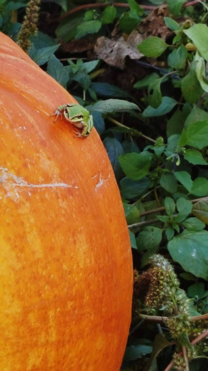 frog on pumpkin