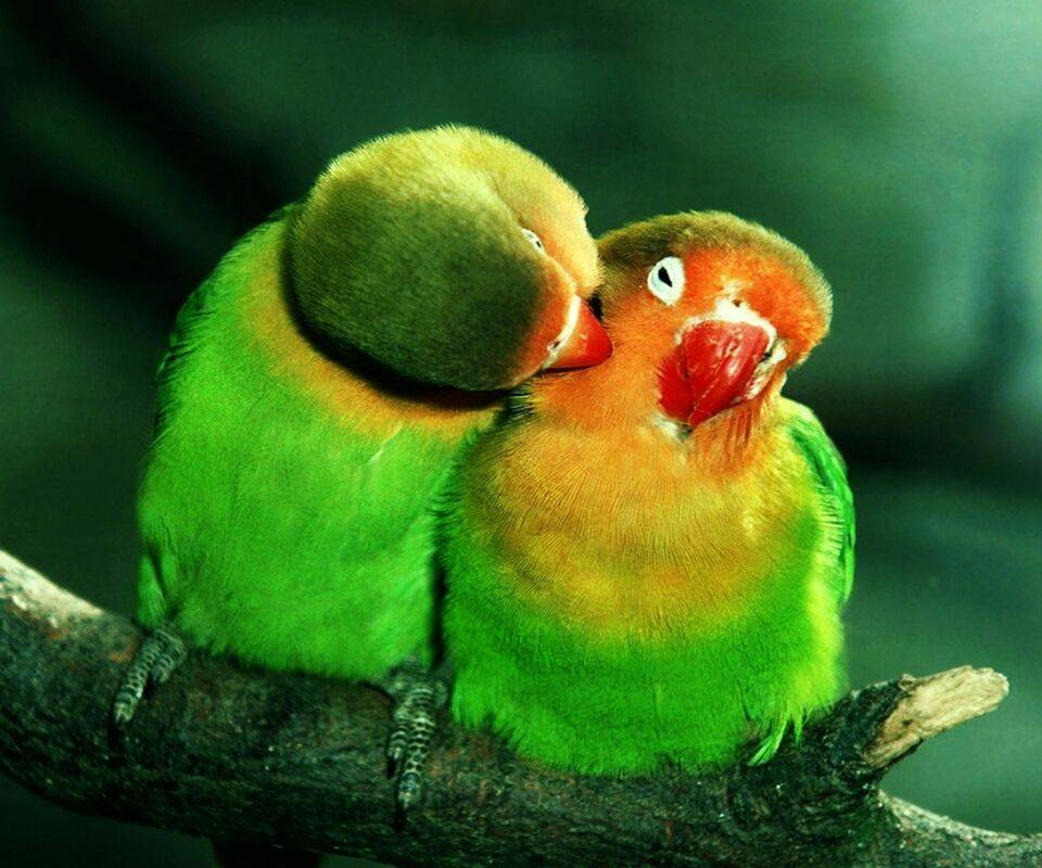 Love Birds Hd