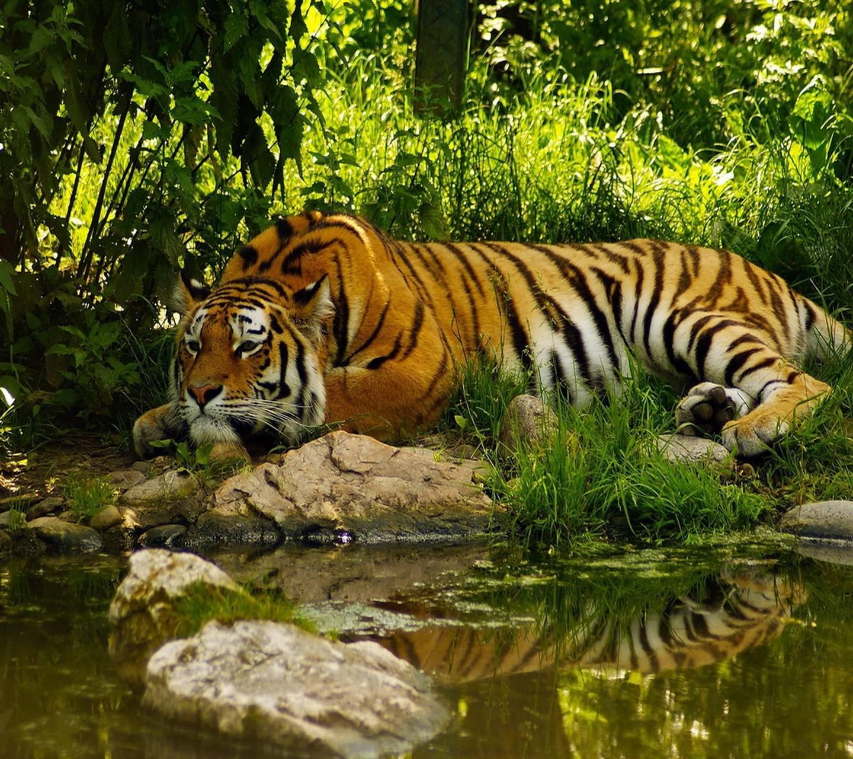 Big Tiger Wallpaper By S