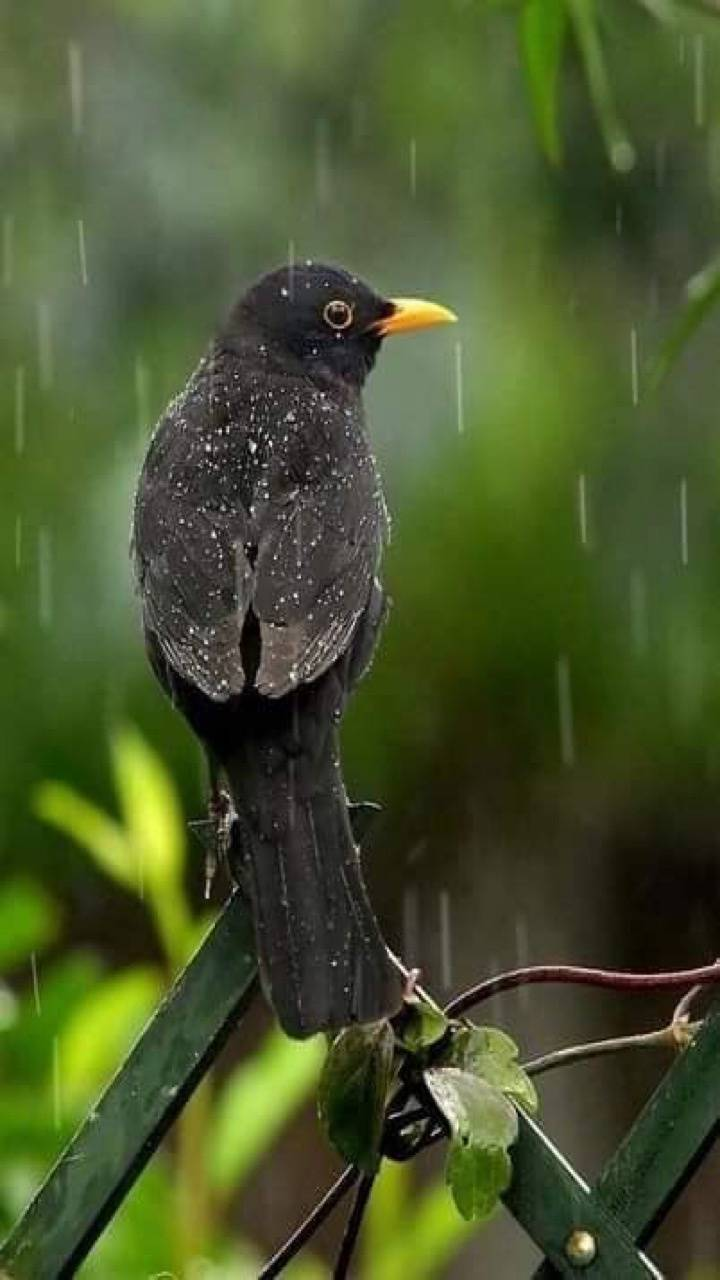 Singing In The Rain Wallpaper By Tubar 1c Free On Zedge