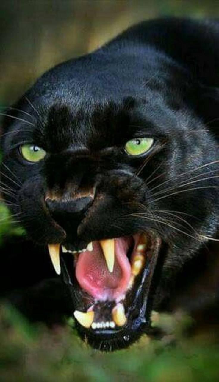 Kinox Black Panther