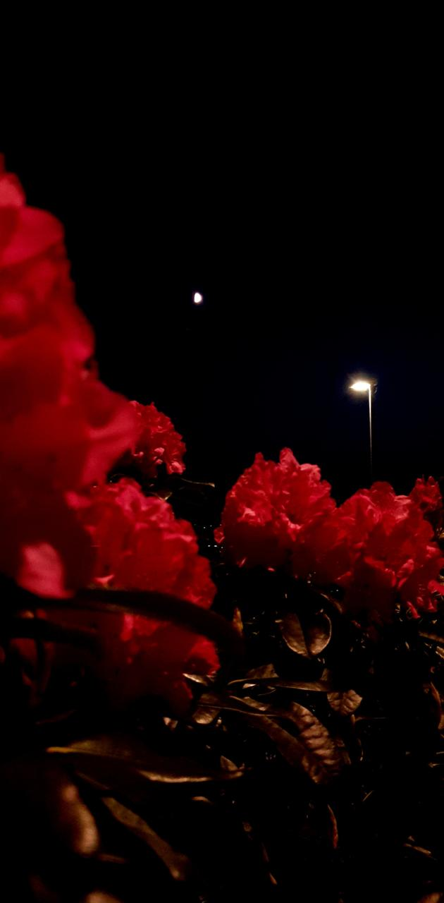 Red Flowers at Nigth