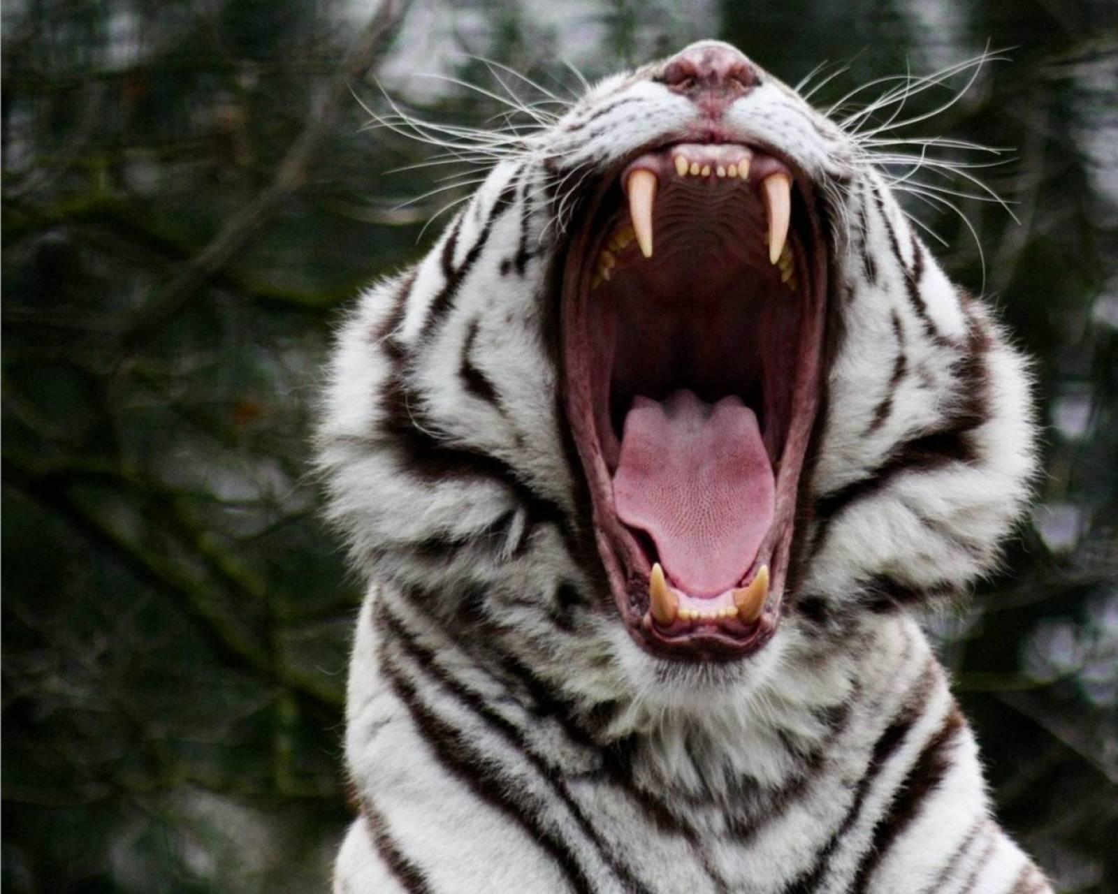 white tiger fangs