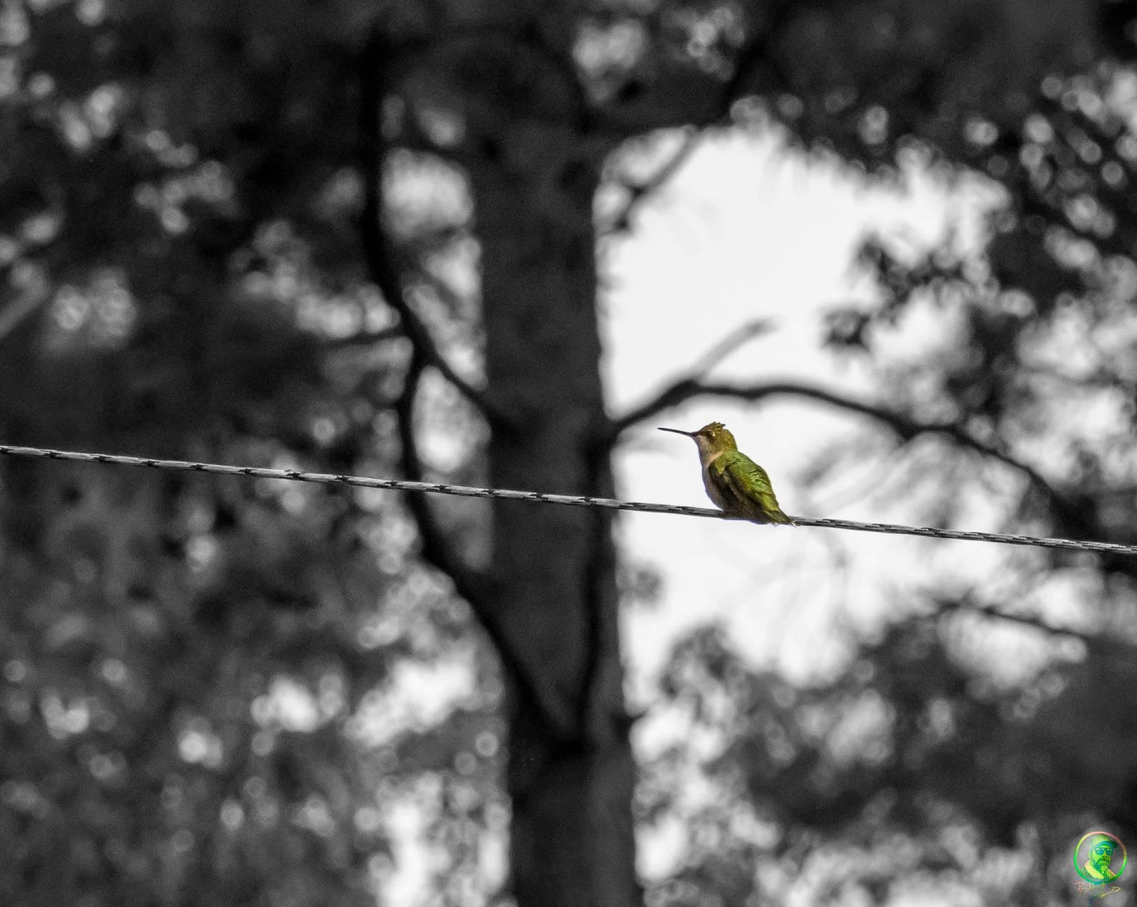 Humming bird B W