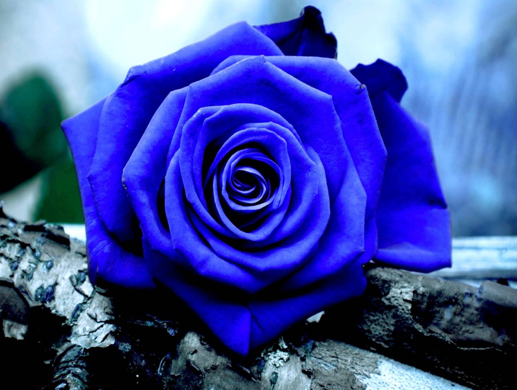 rose blue best 2