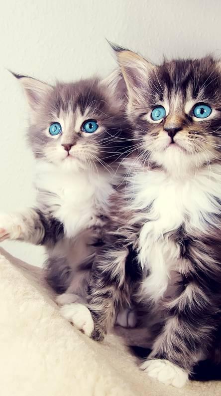 Twins Kitten