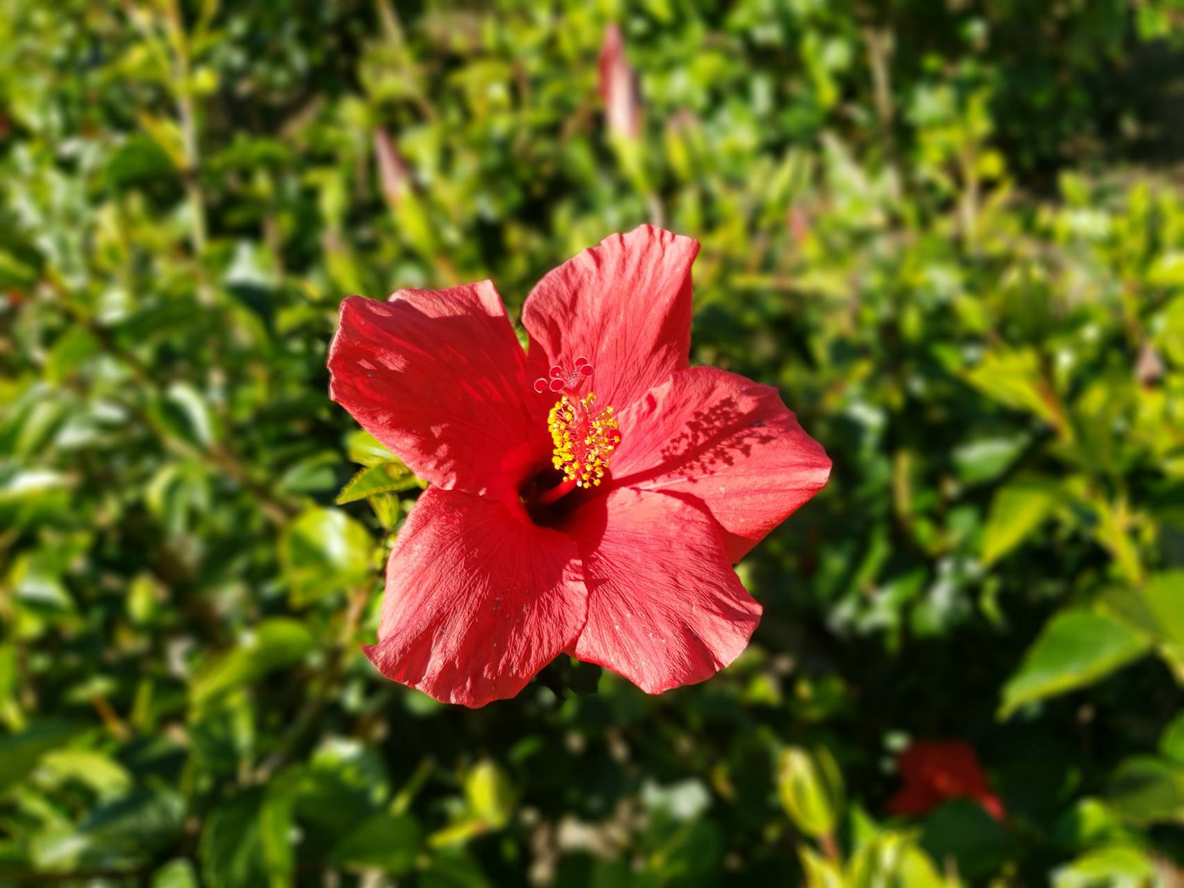 Small Red Hibiscus