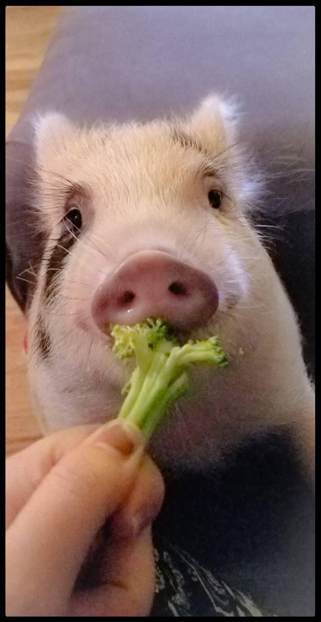 Pig eating veggies