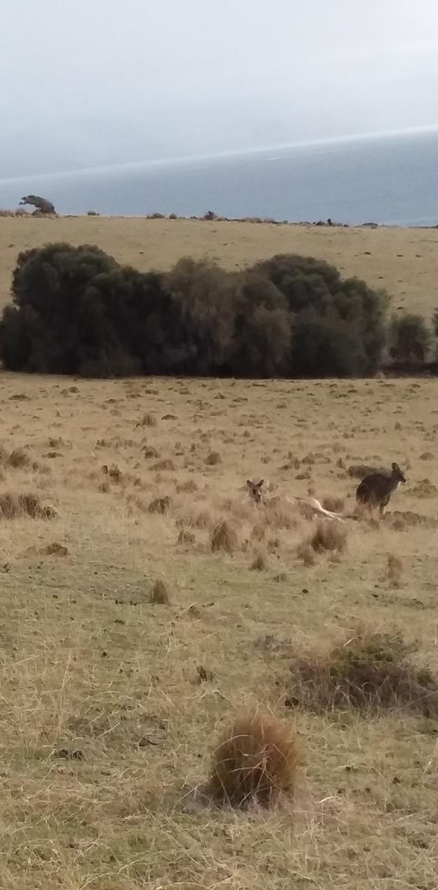 Lots of Kangaroos