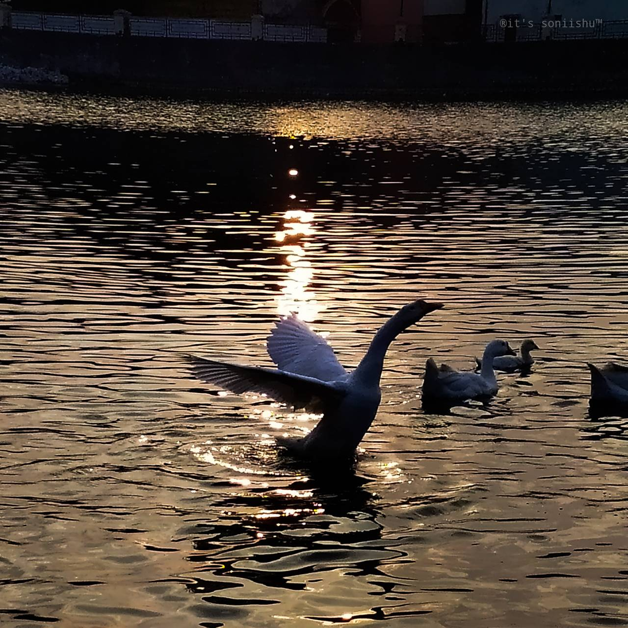 The swan is own pond
