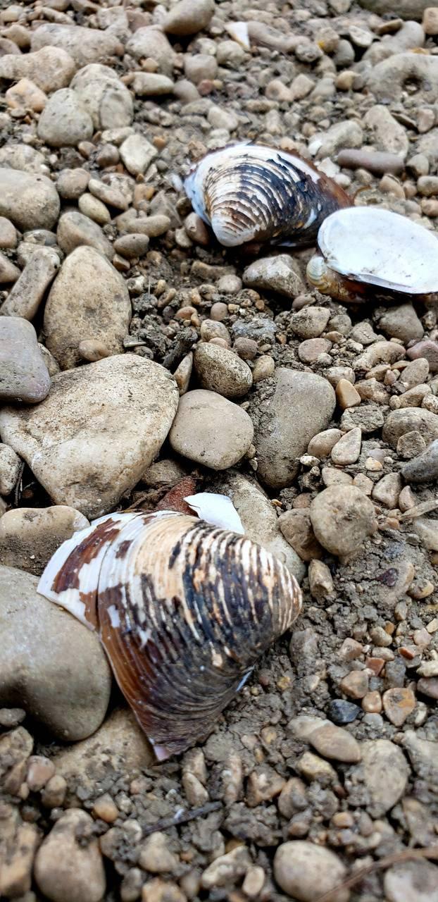 Shell bones