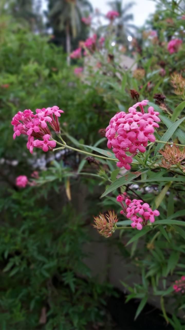 Flower A70 32mp