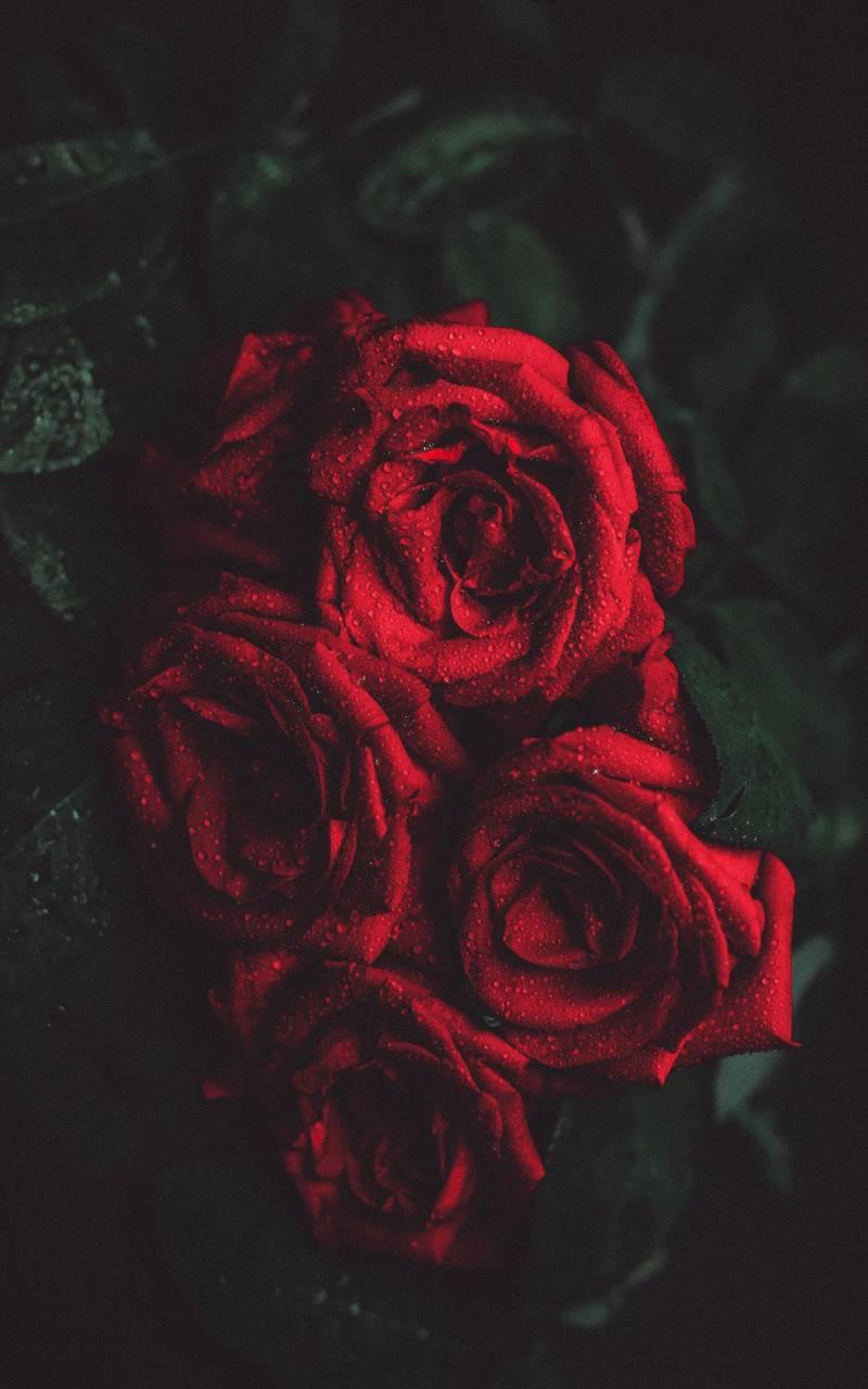 Rose and dark