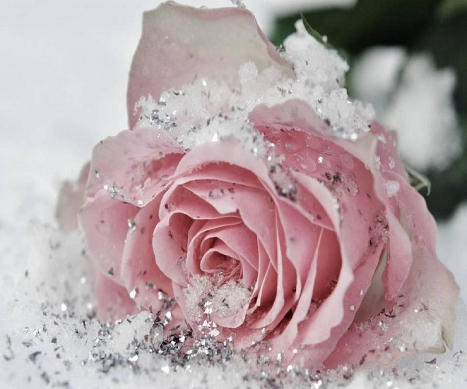Frozen Rose
