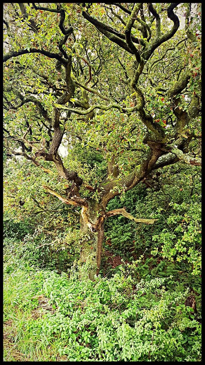 Grandpa oak