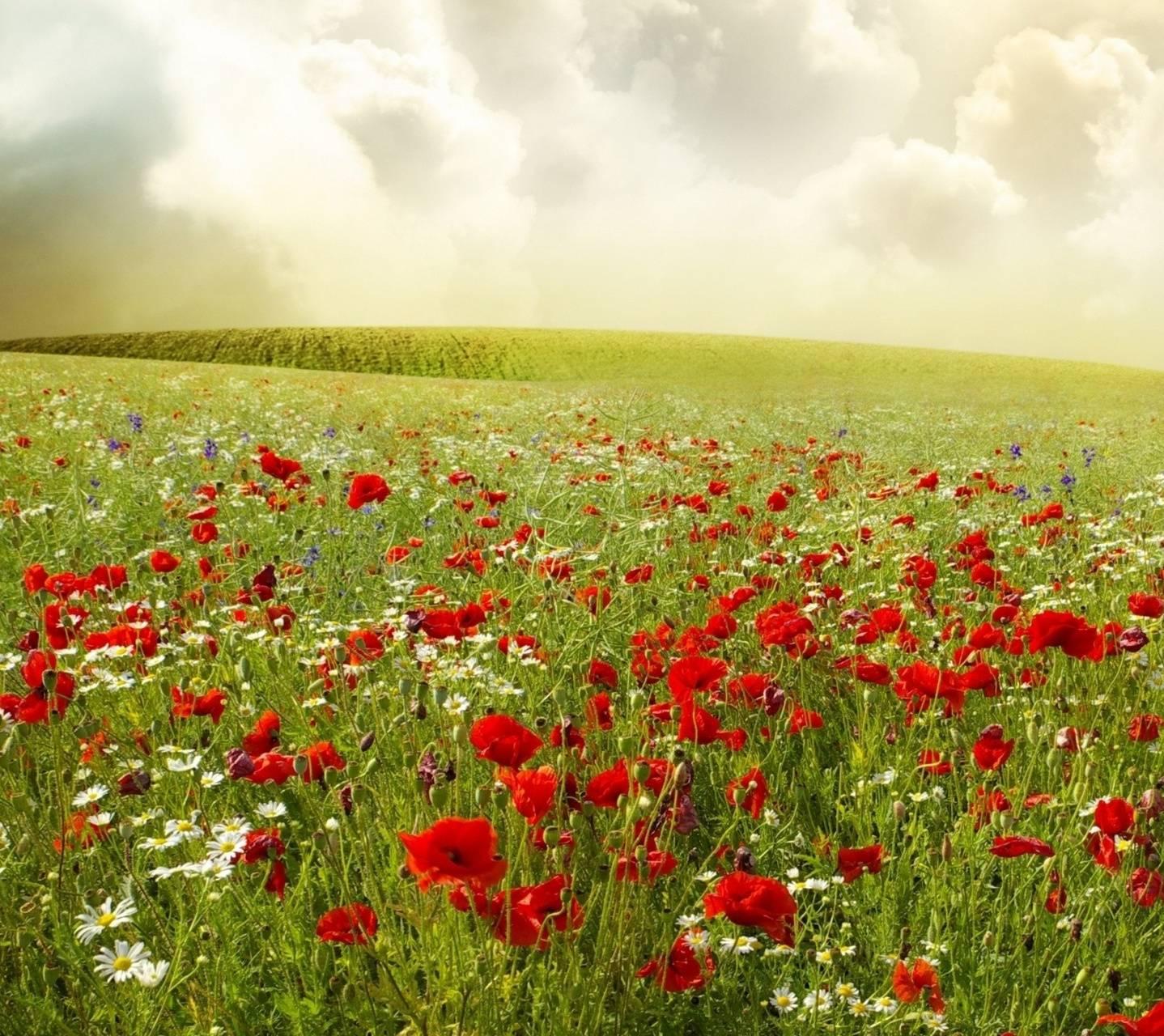 Beautifu poppy field