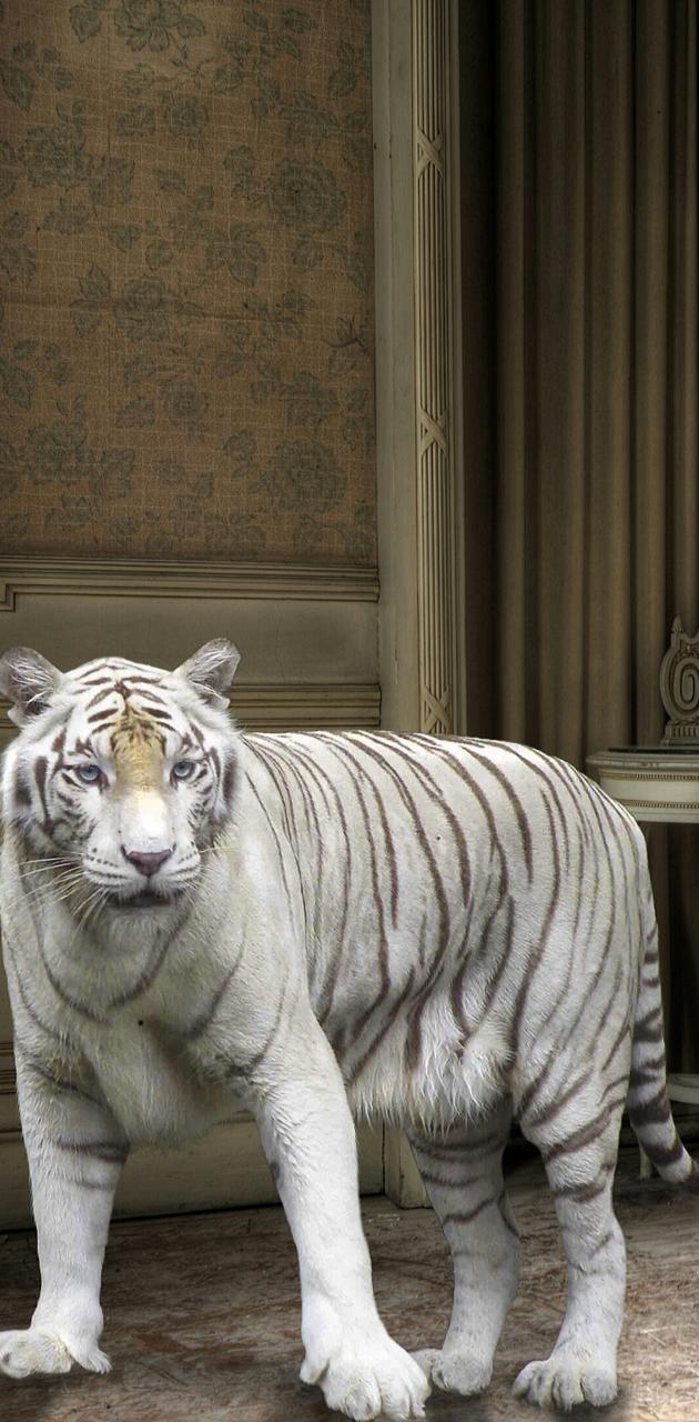 Friendly white tiger