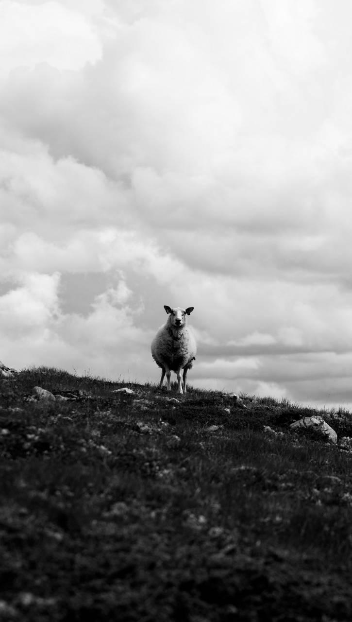 Sheep Shape