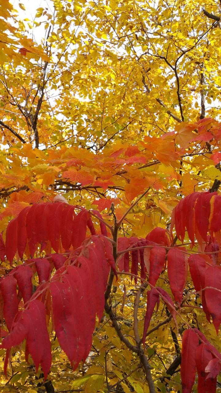 Sumac in the fall