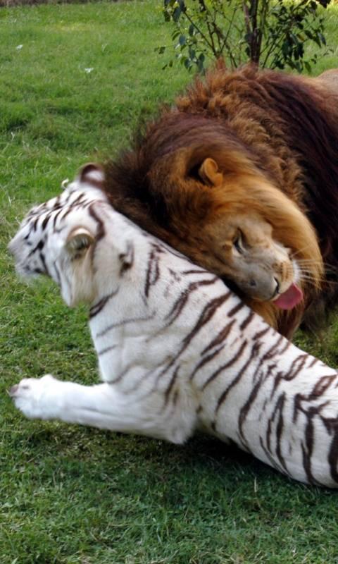 Lion Love Tiger