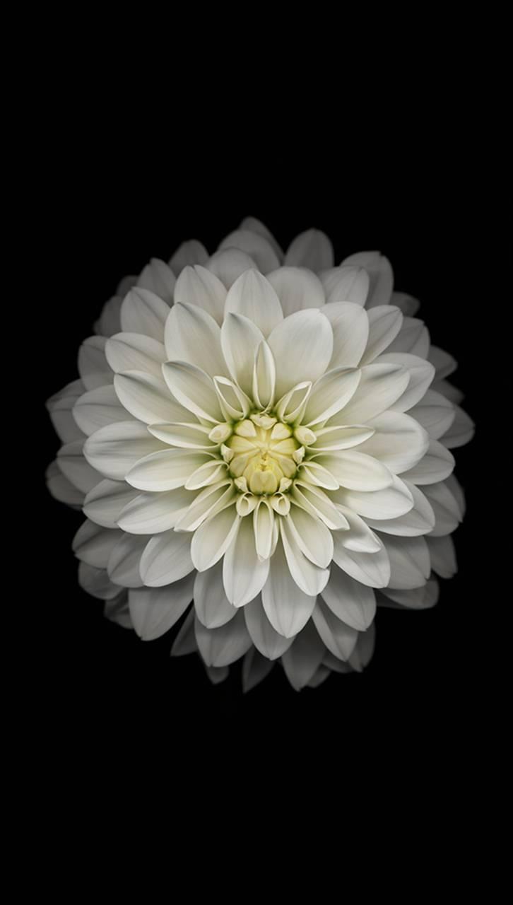 IOS 8 flower