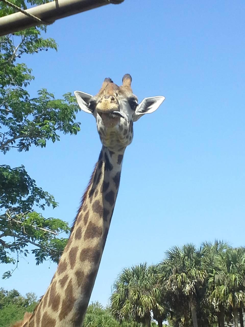 Derpy Giraffe