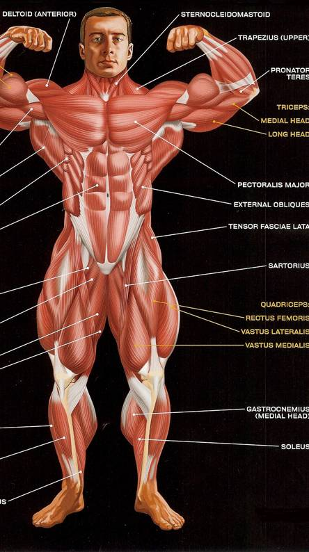 Front Muscles 2
