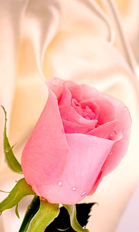 Pink Rose On Silk