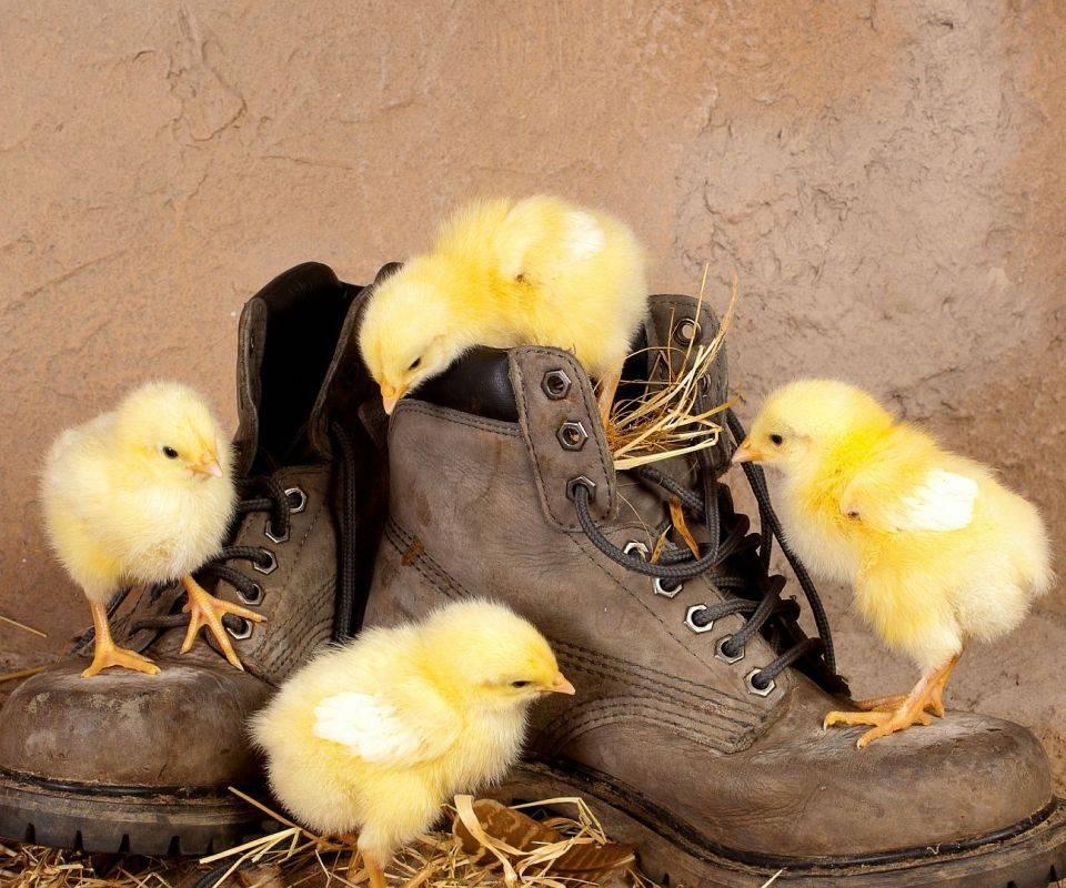 4 Little Chickens
