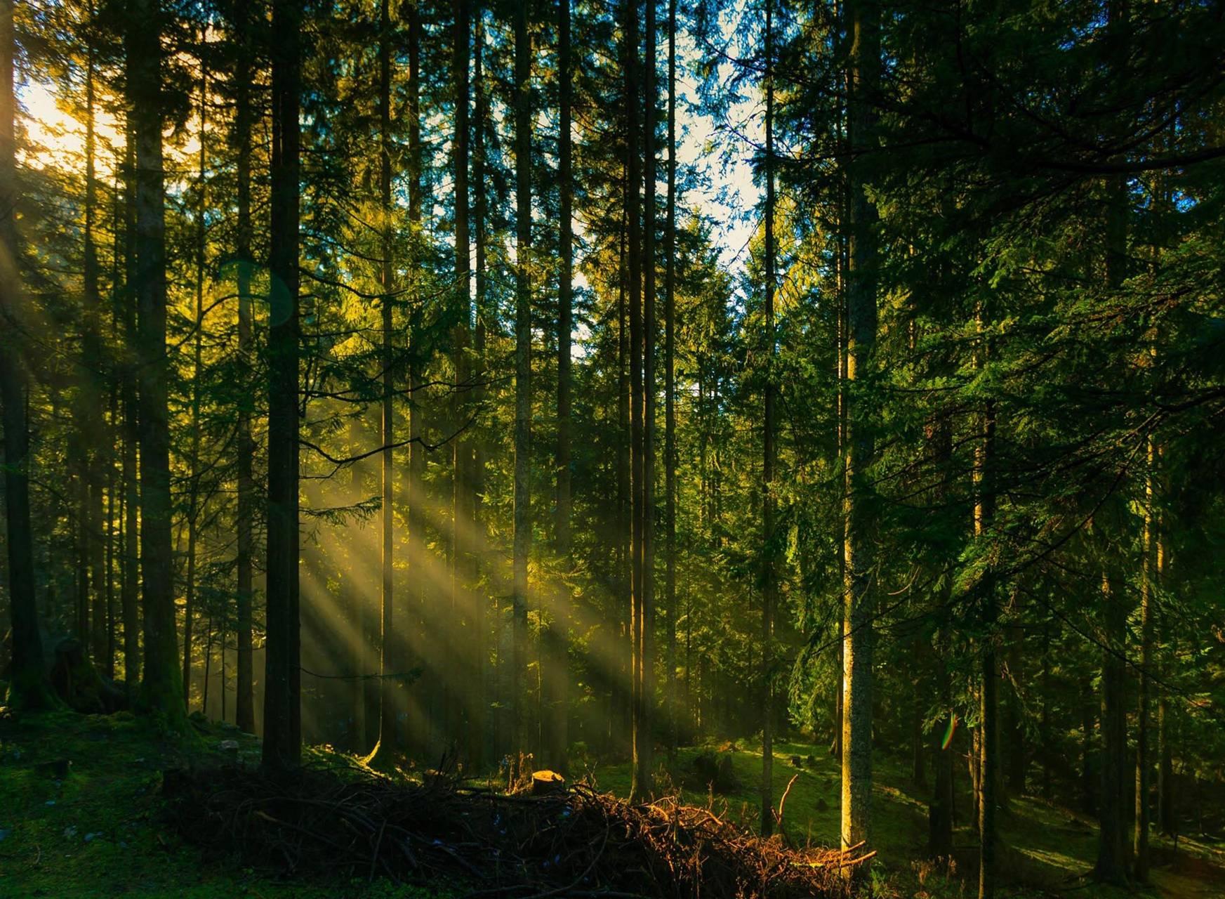 Forest tree sun rays