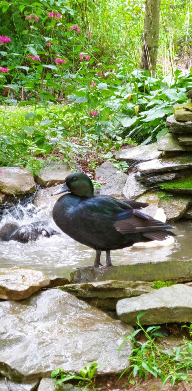 Ducky on my pond