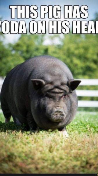 Yoda Pig