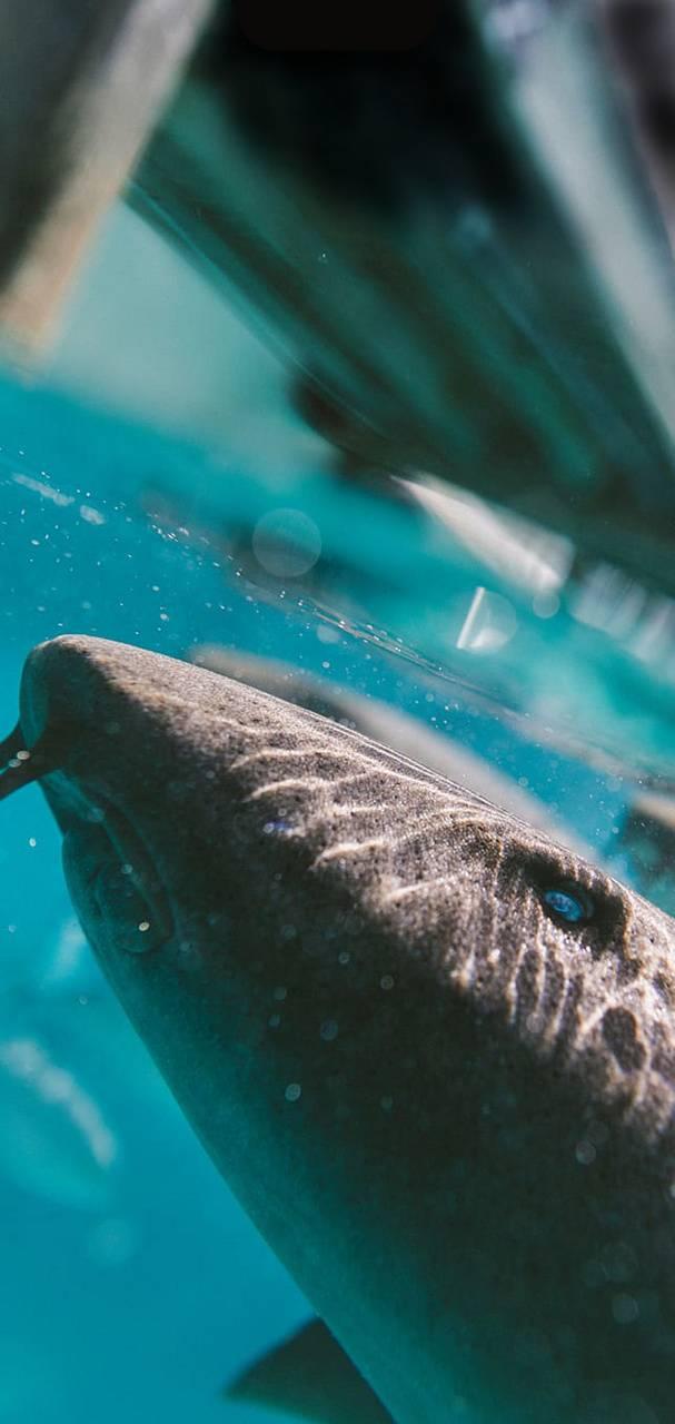 Lemon Shark Notch