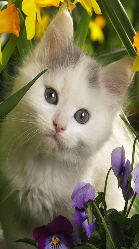White kitty cat