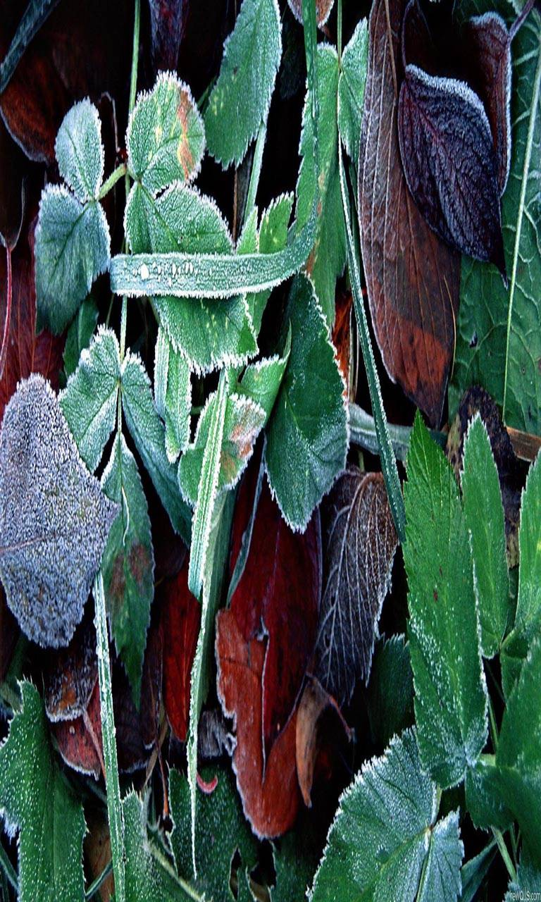 Ice green leaves