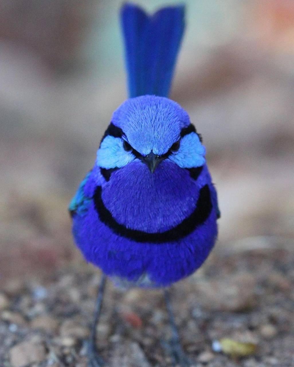 blue berry bird