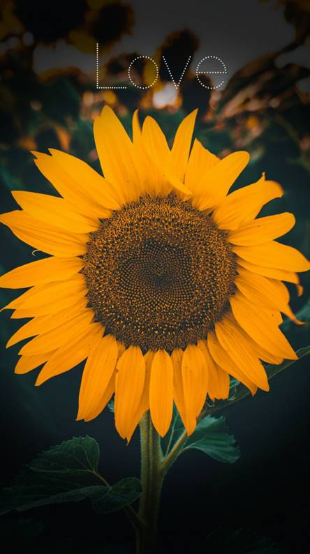 Sunflower Aesthetic Ringtones And Wallpapers Free By Zedge