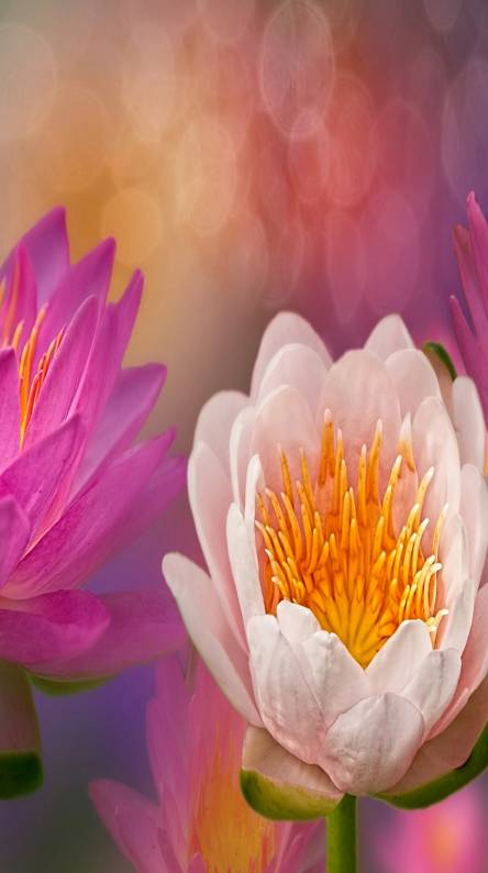 Lotus flower bomb ringtones and wallpapers free by zedge lotus flowers mightylinksfo