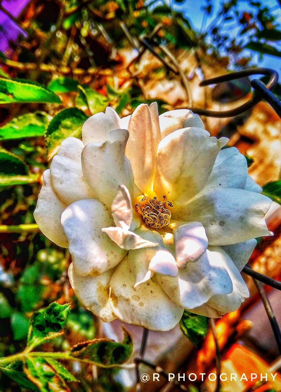 HD rose wallpaper