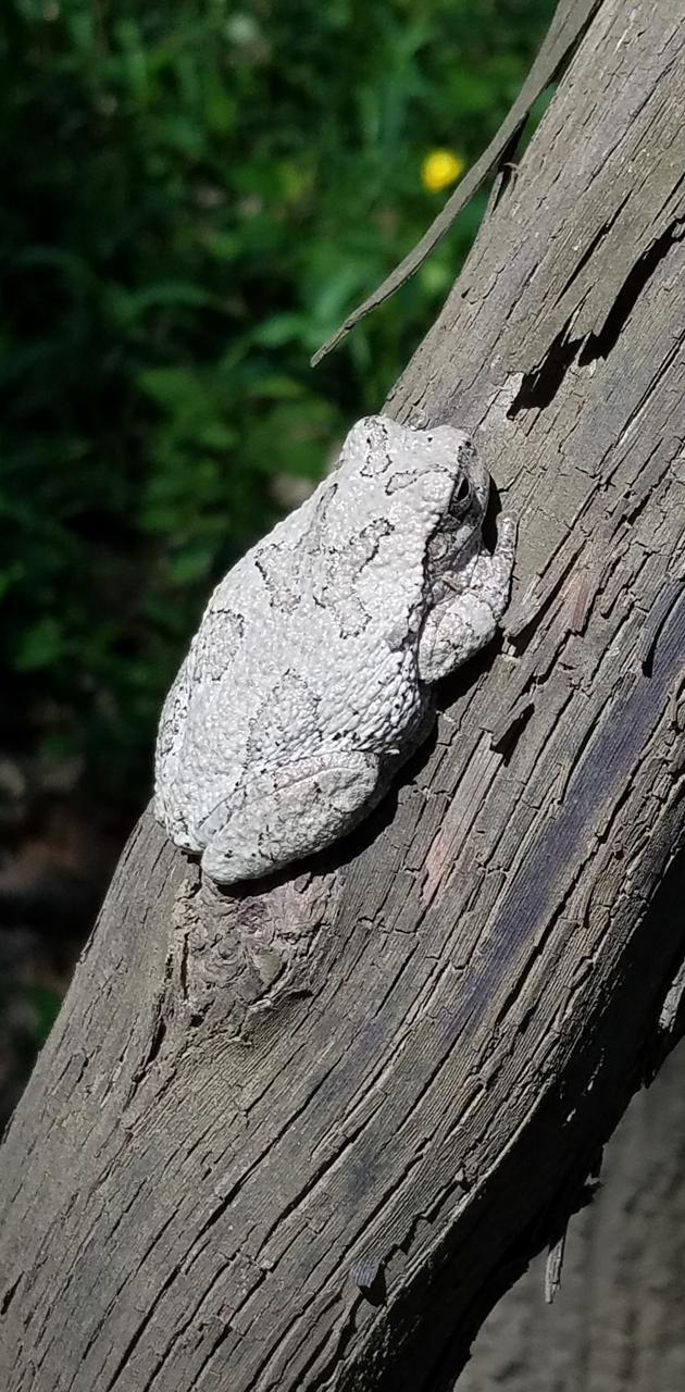 cammo tree frog