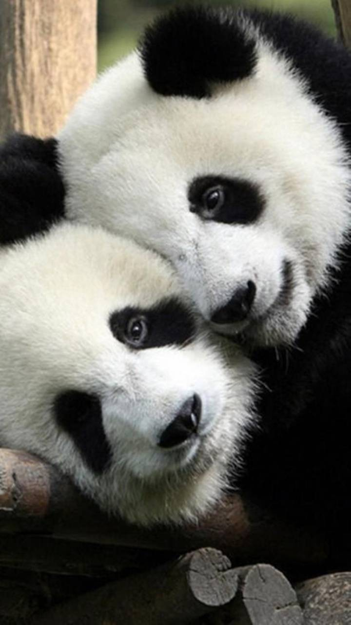 Panda Couple