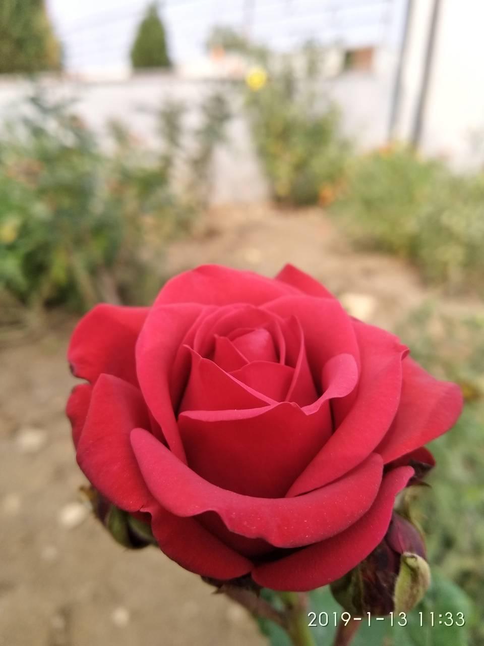 Rose MS