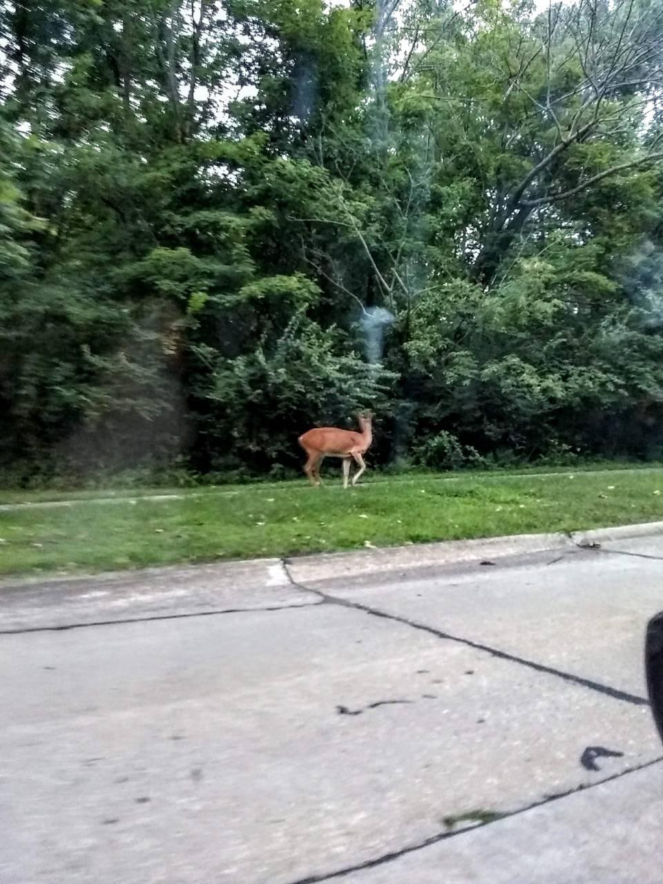 Deer sighting