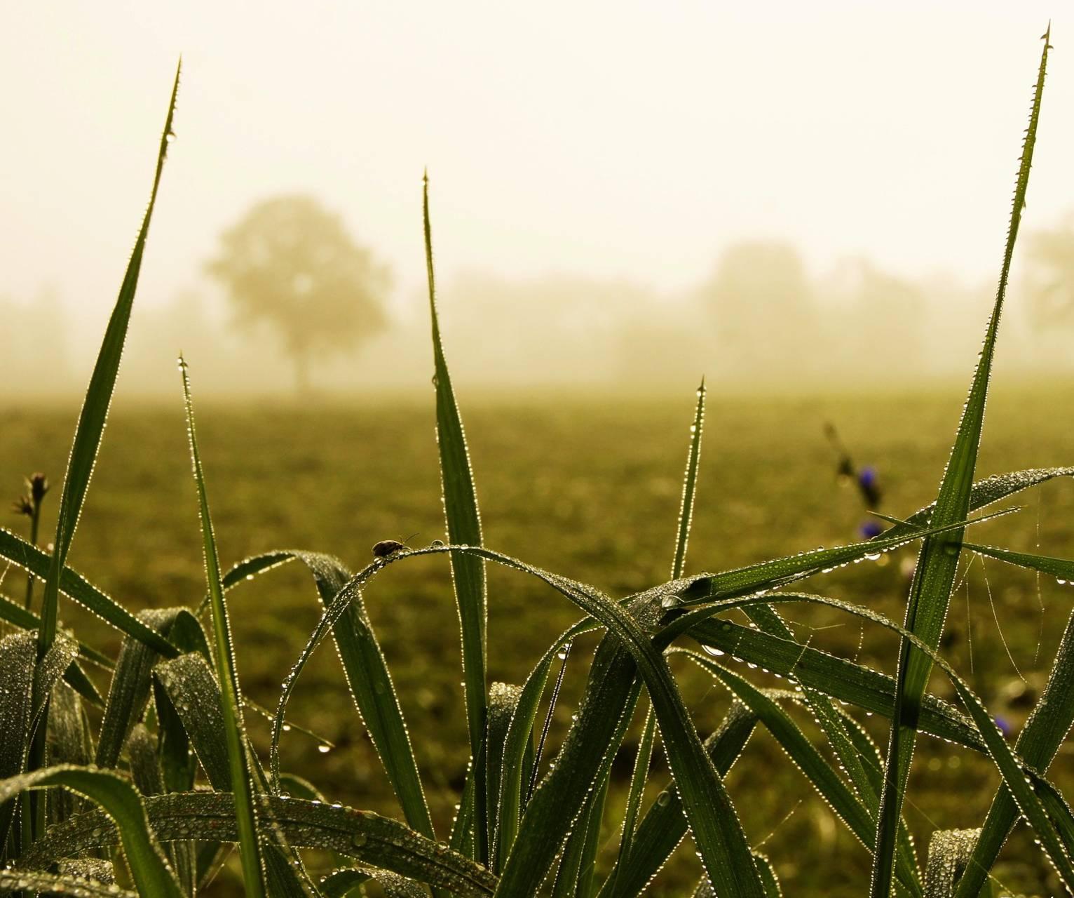 Grassy Fog