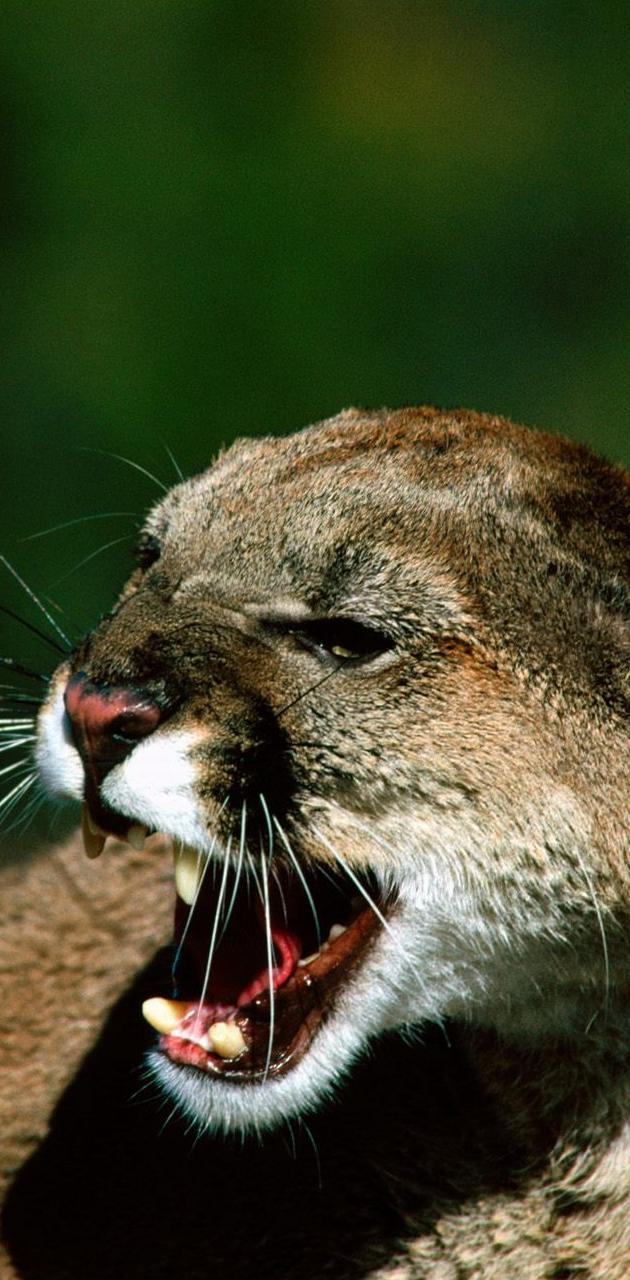 Puma Animal Hd