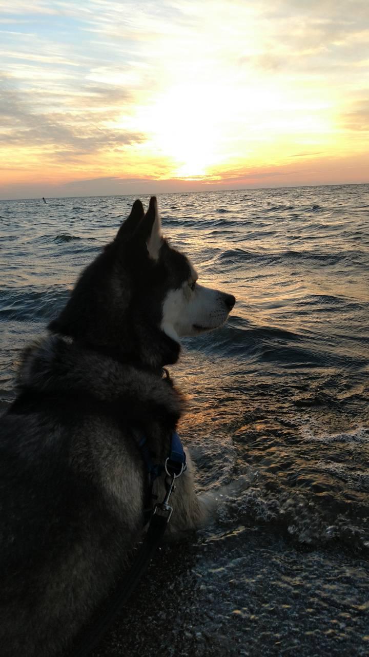 husky and sunset