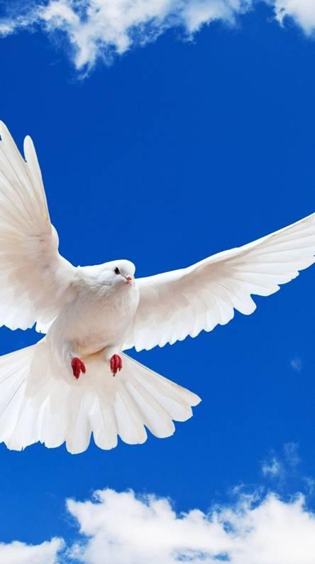 White  Dove Peace