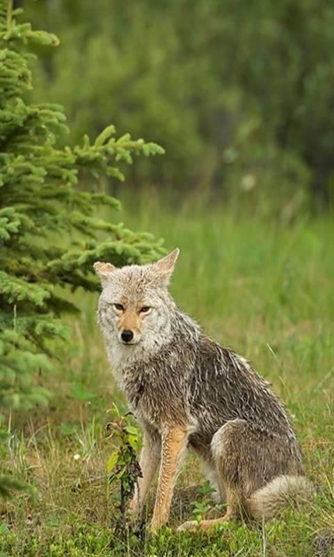 Coyote Jasper Park