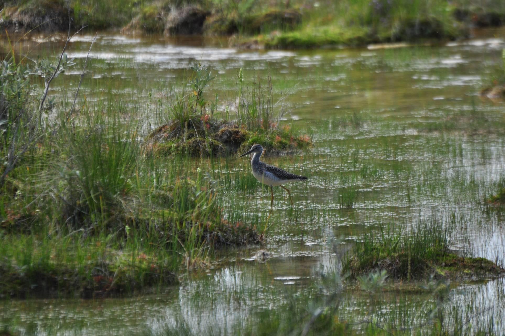 Marsh Bird